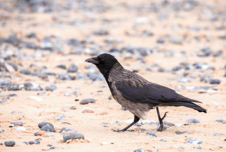 carrion: alone carrion crow on the beach island Helgoland, north sea, Germany Stock Photo
