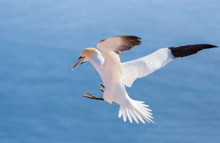 Northern gannet (Sula bassana), beautiful flying sea bird with blue sea water in the background, Helgoland island, Germany Stock Photo