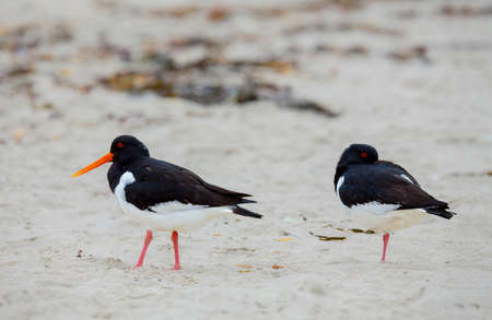Eurasian oystercatcher (Haematopus ostralegus) on the beach island Helgoland, north sea, Germany