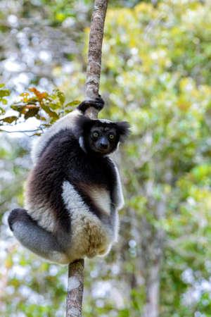 ahorcada: En blanco y negro Lemur Indri (Indri indri), también llamado el babakoto, colgado en el árbol. Indri es el mayor lémur viviente. Andasibe - Parque Nacional Analamazaotra, la fauna de Madagascar