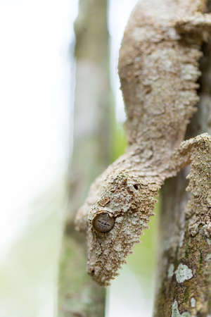 Perfectly masked mossy leaf-tailed gecko, Uroplatus sikorae, species of gecko with the ability to change its skin color to match its surroundings. Andasibe National Park, Analamazaotra, Madagascar wildlife