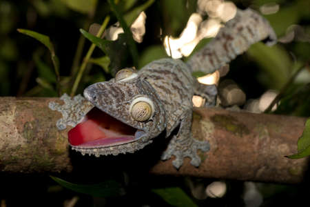 Giant leaf-tailed gecko, Uroplatus fimbriatus, Nosy Mangabe park reserve, Madagascar. Angry gecko with opened mouth showing his red tongue as defense against the enemy. Endemic animal, Madagascar wildlife