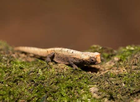 enano: diminuto camaleón Brookesia micra (Brookesia minima), el camaleón más pequeño conocido y uno de los reptiles más pequeños del mundo. Provincia de Antsiranana, fauna de madagascar Foto de archivo