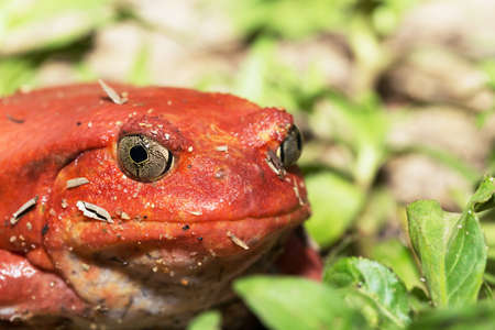 Big Red Tomato frog species of the genus Dyscophus (Dyscophus antongilii). It can be found in Maroantsetra city ditch. When threatened, and the tomato frog puffs up ITS points. Madagascar wildlife