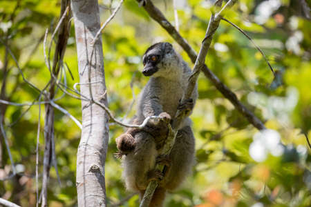 Common brown lemur (Eulemur fulvus), Female with baby on back. Andasibe - Analamazaotra National Park, Madagascar wildlife