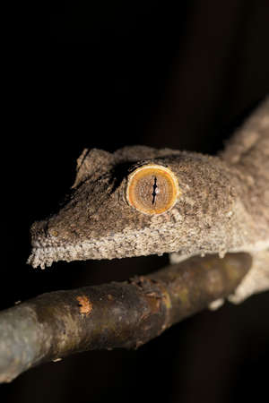 Giant leaf-tailed gecko, Uroplatus fimbriatus, Ankarana Special Reserve in northern Madagascar. Endemic animal, nocturnal photo, Madagascar wildlife