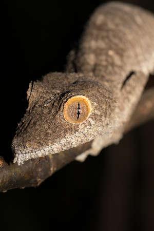 Giant leaf-tailed gecko, Uroplatus fimbriatus, Ankarana Special Reserve in northern Madagascar. Endemic animal, nocturnal photo, Madagascar wildlife