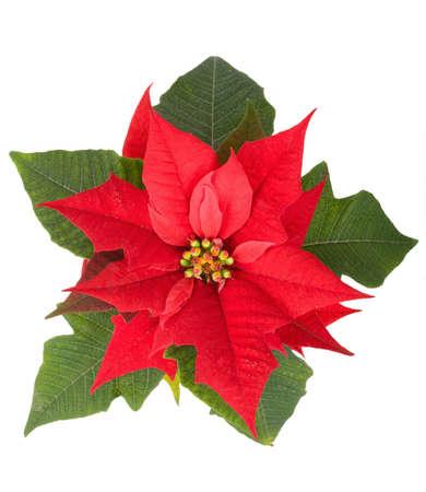 クリスマスの花鍋に赤いポインセチア白 backround で隔離をライブします。