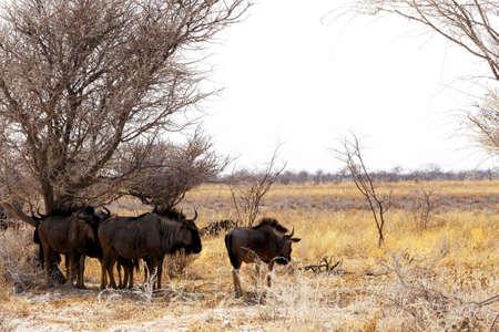 wild Wildebeest Gnu standing in desert, Etosha Park, Namibia, true wildlife