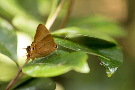 Orange buterfly in Madagascar rainforest, Analamazaotra National Park, Madagascar wilderness and wildlife