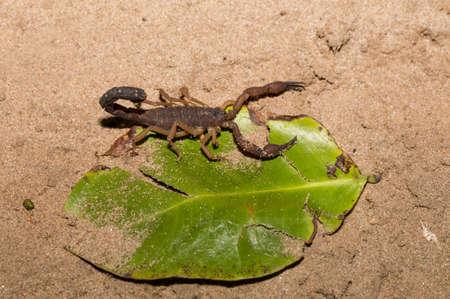 arachnids: Scorpions in deffend position ready to attack, predatory arachnids of the order Scorpiones, Masoala National park, Toamasina province, Madagascar wildlife and wilderness Stock Photo