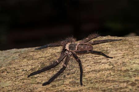 heteropodidae: big huntsman spider on tree trunk. Huntsman spider is members of the family Sparassidae (formerly Heteropodidae. Masoala National park, Toamasina province, Madagascar wildlife and wilderness