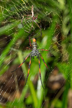 golden orb weaver: Golden silk orb-weaver, Giant spider on web. Nosy Mangabe, Toamasina province, Madagascar wildlife and wilderness. Female and dead eaten and killed male after mating and copulation Stock Photo
