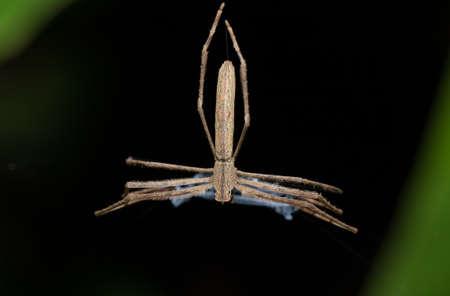 Araignée à face d'ogre (Deinopis subrufa) également appelée araignée de coulée de filet roux avec filet. Spider est active la nuit. Parc national de Masoala, province de Toamasina, faune sauvage de Madagascar et désert Banque d'images - 67887095