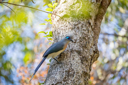 Crested coua (Coua cristata), very attractive Madagascar birds. Ankarafantsika National Park, Madagascar wildlife and wilderness