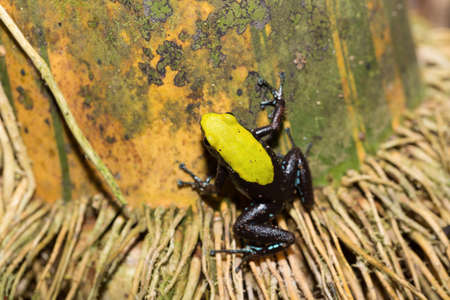 Beautifull small endemic black and yellow frog Climbing Mantella (Mantella laevigata), species of frog in the Mantellidae family. Masoala National Park, Madagascar wildlife and wilderness