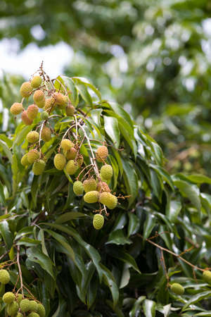 Unripe green exotic fruit Lychee (litchi) on tree in Masoala village in Madagascar