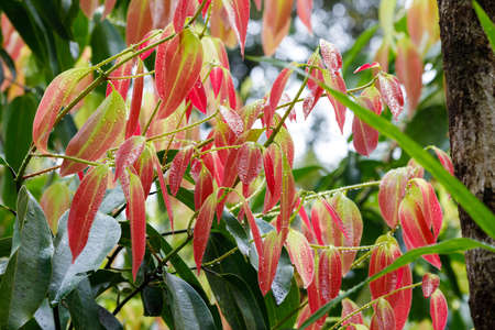 cinnamomum: new fresh red colored leaves on Cinnamon Tree (Cinnamomum zeylanicum), Highly ornamental tree and the source of cinnamon spice. Masoala forest national park, Madagascar wilderness