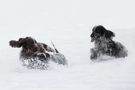 two cute english cocker spaniel dog playing in the freshly fallen dusty and fluffy snow