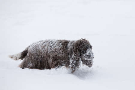 Cute english cocker spaniel dog playing and frolics in the freshly fallen dusty and fluffy snow