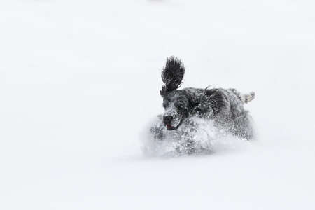 Purebred happy english cocker spaniel dog playing and running in the freshly fallen dusty and fluffy snow