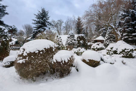 Beautiful evergreen winter garden with conifers covered by fresh snow