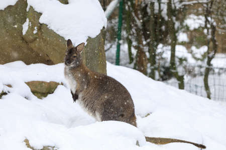 Red-necked Wallaby, kangaroo (Macropus rufogriseus) in white snowy winter Stock Photo