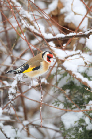 small colored European goldfinch or goldfinch (Carduelis carduelis) in winter garden in snowy day, Europe, Czech Wildlife Stock Photo