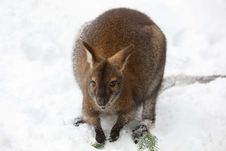 Red-necked Wallaby, kangaroo (Macropus rufogriseus) white albino female in white snowy winter