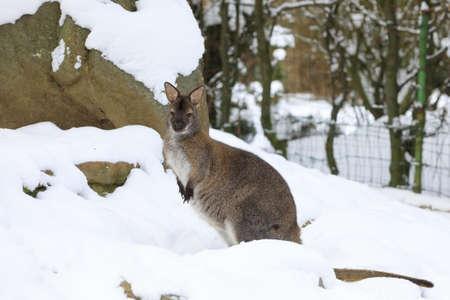 kangaroo white: Red-necked Wallaby, kangaroo (Macropus rufogriseus) in white snowy winter Stock Photo