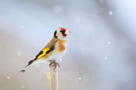 small colored European goldfinch or goldfinch (Carduelis carduelis) in winter garden in snowy day, Europe, Czech Wildlife Banco de Imagens