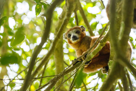 Crowned lemur (Eulemur coronatus) on tree in Ankarana National Park. The crowned lemur is endemic to the dry deciduous forests of the northern top of Madagascar. Wildlife and wildernes
