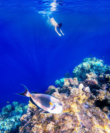 sohal: Coral and fish in the Red Sea. In front is Red Sea surgeonfish, in background snorkeling boy and blue sea with other coral fish. Egypt.
