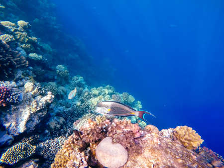 Coral and fish in the Red Sea. In front is Red Sea surgeonfish, in background coral garden and blue sea with other coral fish. Egypt.
