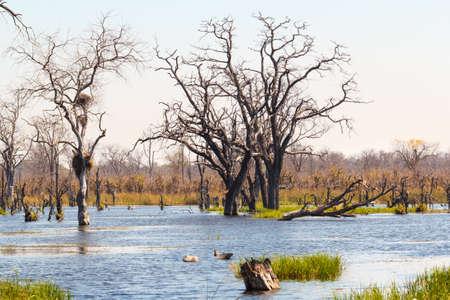 Okavango Delta: beautiful swamp landscape in the Okavango, Moremi game reserve, Okavango Delta, Botswana. Africa safari wilderness