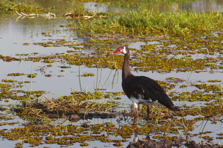 spur winged: bird Spur-winged Goose, Plectropterus gambensis, Okavango delta, Botswana, Africa safari wildlife and wilderness