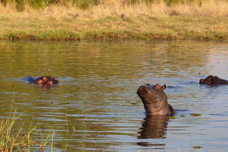 Okavango Delta: Hippo Hippopotamus Hippopotamus. Moremi game reserve Okavango delta, Botswana, Africa safari wildlife and wilderness