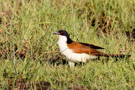 bird coppery-tailed coucal (Centropus cupreicaudus),Okavango delta, Moremi game reserve, Botswana, Africa safari wildlife and wildernes Stock Photo