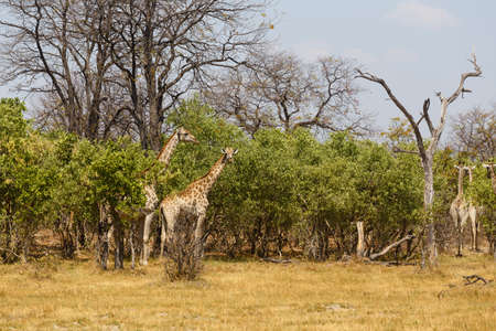Okavango Delta: herd of giraffe grazing on tree, Moremi Game reserve, Okavango Delta, Botswana, Africa safari wildlife and wilderness Stock Photo