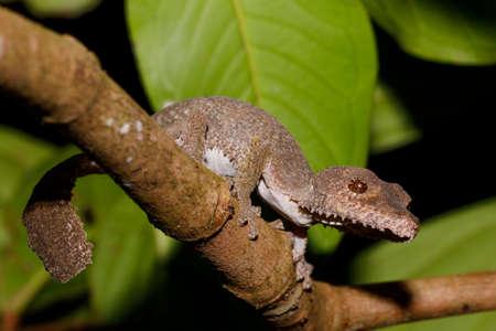 Giant leaf-tailed gecko, Uroplatus fimbriatus, Nosy Mangabe park reserve, Madagascar. Gecko hanged on tree. Endemic animal, Madagascar wildlife