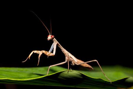 Big brown female of praying mantis on green leaf, Nosy Mangabe national park, Madagascar