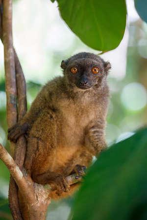 female of white-headed lemur (Eulemur albifrons) on branch in Madagascar wilderness. Nosy Mangabe forest reserve. Madagascar wildlife
