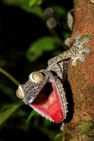 Giant Leaf-tail Gecko, Uroplatus fimbriatus, Nosy Mangabe park reserve, Madagascar. Gecko with opened mouth showing his red tongue as defense against the enemy. Madagascar wildlife and wilderness
