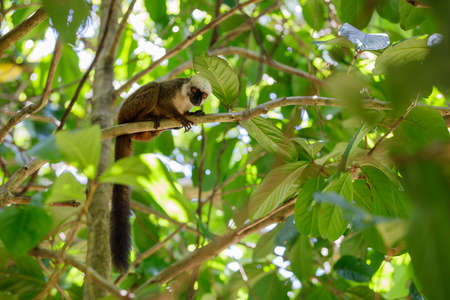 nosy: Male of white-headed lemur (Eulemur albifrons) on branch in Madagascar wilderness. Nosy Mangabe forest reserve. Madagascar wildlife