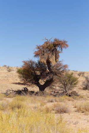 WEAVER: African masked weaver big nest on tree, Kalahari desert, african landscape, Kgalagadi Transfrontier Park, South Africa, wildlife and wilderness Stock Photo