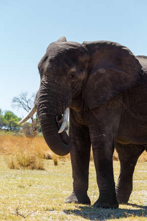 African elephant, Loxodonta in Caprivi strip game park, Nambwa Namibia, Africa safari wildlife and wilderness
