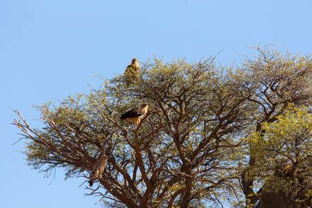 Very large eagle on tree in Kalahari desert, Kgalagadi transfontier park, South Africa, safari wildlife and wilderness