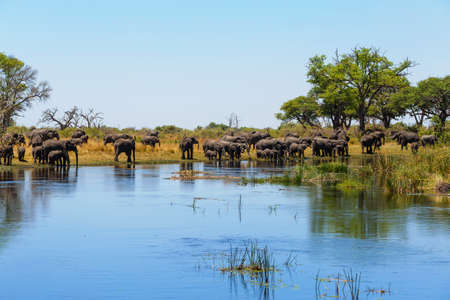 herd of African elephant with babies, Loxodonta drinking on on small lagoon in landscape of Caprivi strip game park, Nambwa Namibia, Africa safari wildlife and wilderness