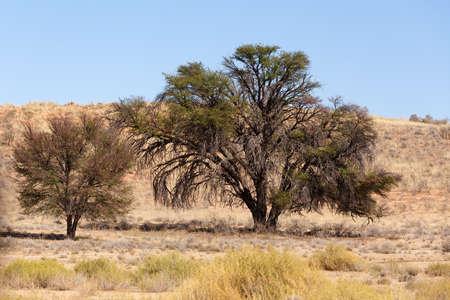 herbivores: Dry kalahari desert landscape, Kgalagadi transfontier park, South Africa safari wilderness