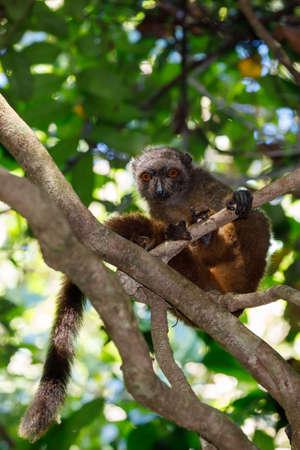 female of white-headed lemur (Eulemur albifrons) on branch in Madagascar rainforest. Nosy Mangabe forest reserve. Madagascar wildlife and wilderness
